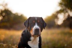 Gran perro suizo de la montaña que camina al aire libre en puesta del sol Imagen de archivo libre de regalías
