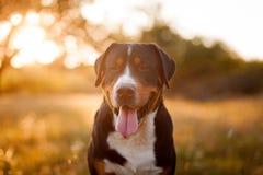 Gran perro suizo de la montaña que camina al aire libre en puesta del sol Imágenes de archivo libres de regalías
