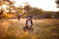 Gran perro suizo de la montaña que miente en la hierba al aire libre en puesta del sol Fotografía de archivo libre de regalías