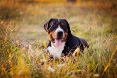 Gran perro suizo de la montaña que miente en la hierba al aire libre en puesta del sol Imagen de archivo