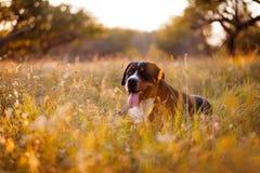 Gran perro suizo de la montaña que miente en la hierba al aire libre en puesta del sol Foto de archivo