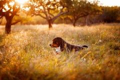 Gran perro suizo de la montaña que miente en la hierba al aire libre en puesta del sol Fotos de archivo libres de regalías