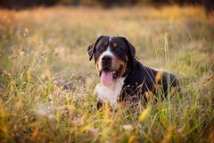 Gran perro suizo de la montaña que miente en la hierba al aire libre en puesta del sol Imagen de archivo libre de regalías