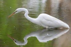 Gran pesca blanca de la garceta Foto de archivo