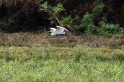 Gran pesca de la garceta que vuela sobre la región pantanosa herbosa imagen de archivo