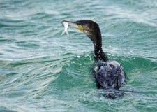 Gran pesca del cormorán Imagen de archivo libre de regalías