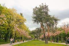 Gran pino centenario en las cercan?as de Coslada en el parque del humedal en una ma?ana del oto?o Gran pino en el parque de Sakur imagenes de archivo