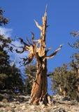 Gran pino de Bristlecone del lavabo imagen de archivo