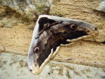 Gran polilla del pavo real Fotografía de archivo libre de regalías