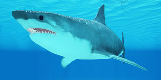 Gran primer del tiburón blanco Fotografía de archivo libre de regalías