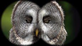 Gran prismáticos a través vistos de Grey Owl Strix nebulosa A través vistos prismáticos r
