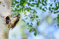 Gran pulsación de corriente manchada en árbol de abedul al lado del agujero con el pájaro joven Imagen de archivo