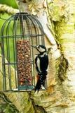 Gran pulsación de corriente manchada en alimentador del pájaro Fotografía de archivo libre de regalías