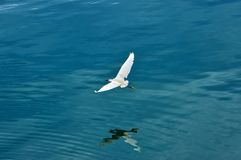 Gran punto bajo del vuelo de la garceta sobre la superficie del lago imagenes de archivo
