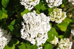 Gran quantità delle fioriture bianche che splendono sul sole di estate Fotografia Stock