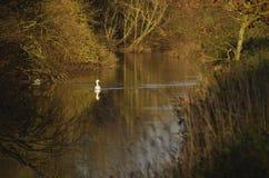 Gran río Ouse Inglaterra Reino Unido del cisne Fotos de archivo libres de regalías