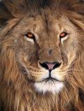 Gran retrato del rey del león imagen de archivo