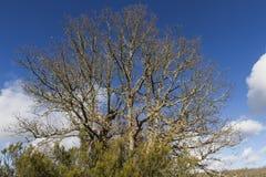 Gran roble con el brezo Foto de archivo libre de regalías