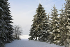 gran sörjer snöig trees Royaltyfria Foton