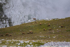 GRAN SASSO (AQ) - PRIDE OF CHAMOIS royalty free stock image