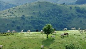 Gran sasso national park cows Royalty Free Stock Photography
