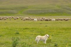 Gran sasso national park dog and sheep Stock Image