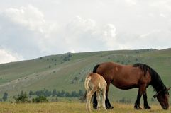 Gran sasso national park horses Stock Photos