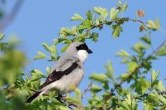 Gran Shrike gris Imagen de archivo libre de regalías