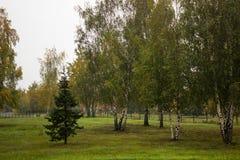 Gran som omges av björkträd Royaltyfri Fotografi