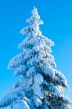 Gran som täckas med Snow mot ljust Royaltyfri Bild