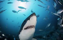Gran sur de Australia del tiburón blanco imagen de archivo libre de regalías