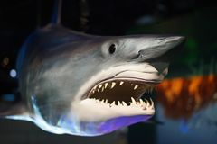 Gran tiburón blanco imagen de archivo libre de regalías
