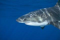 Gran tiburón blanco foto de archivo