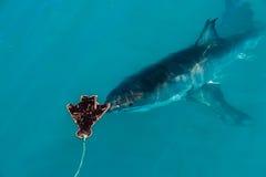 Gran tiburón blanco (carcharias del Carcharodon) Fotografía de archivo