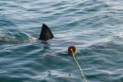 Gran tiburón blanco (carcharias del Carcharodon) Foto de archivo libre de regalías