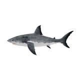 Gran tiburón blanco en el fondo blanco Fotos de archivo