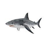 Gran tiburón blanco en el fondo blanco Fotografía de archivo libre de regalías