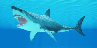 Gran tiburón blanco subacuático Fotos de archivo libres de regalías