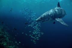 Gran tiburón blanco subacuático con los pescados foto de archivo