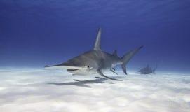 Gran tiburón de Hammerhead fotografía de archivo