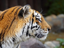 Gran tigre. Imágenes de archivo libres de regalías