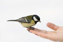 Gran Tit Foto de archivo libre de regalías