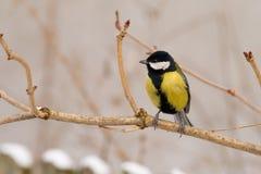 Gran tit (comandante del parus del aka) el día de invierno Foto de archivo libre de regalías