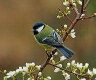 Gran Tit en primavera Fotografía de archivo libre de regalías