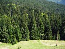 Gran-träd övre sikt för carpathian berg Träd Sommar Natur spruce ukraine Arkivfoto