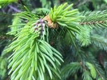 Gran-träd Fotografering för Bildbyråer