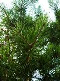 Gran-träd filial Royaltyfria Foton