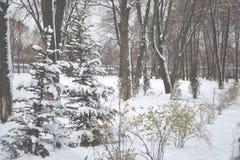 Gran-träd i vintern parkerar Snöig väder vinter för skognatursun Royaltyfri Bild