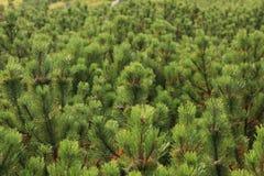 Gran-träd matta Fotografering för Bildbyråer