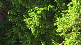 Gran-trädet förgrena sig med unga forsar 4K lager videofilmer